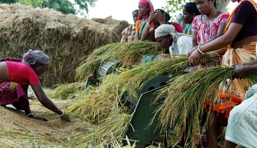 farmers harvesting rice in rice paddy
