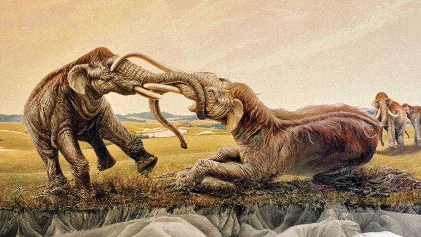 Wie zwei rivalisierende Mammuts vor 12.000 Jahren ein episches Duell verloren haben