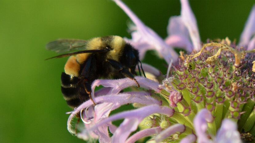 芝生からマメ科植物へ:ミネソタ州は住宅所有者に「蜂の芝生」を植えるために支払う