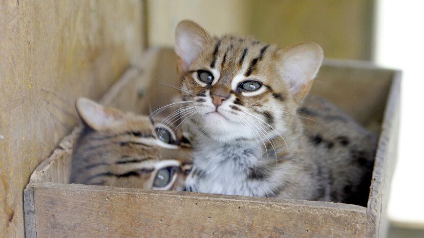 El gato de manchas oxidadas es un gato salvaje diminuto