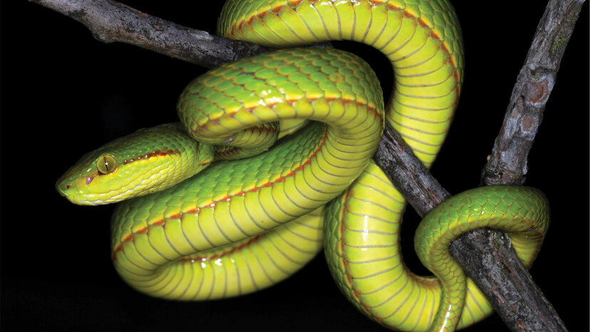 Repase la lengua pársel para saludar a la nueva serpiente Salazar Slytherin