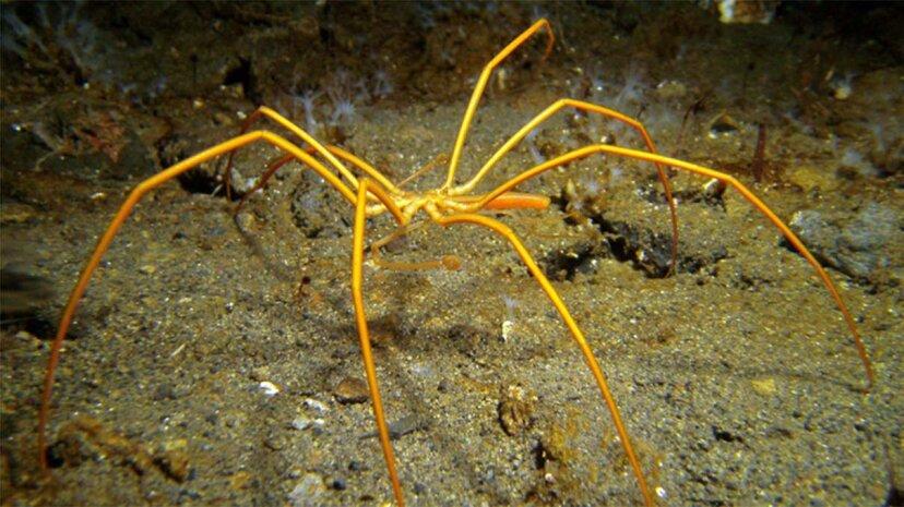 Seespinnen atmen durch Poren in ihren Beinen