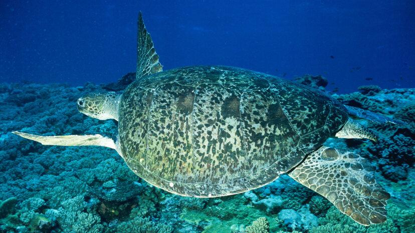 99 Prozent der Great Sea Barrier Reef Green Sea Turtles schlüpfen weiblich