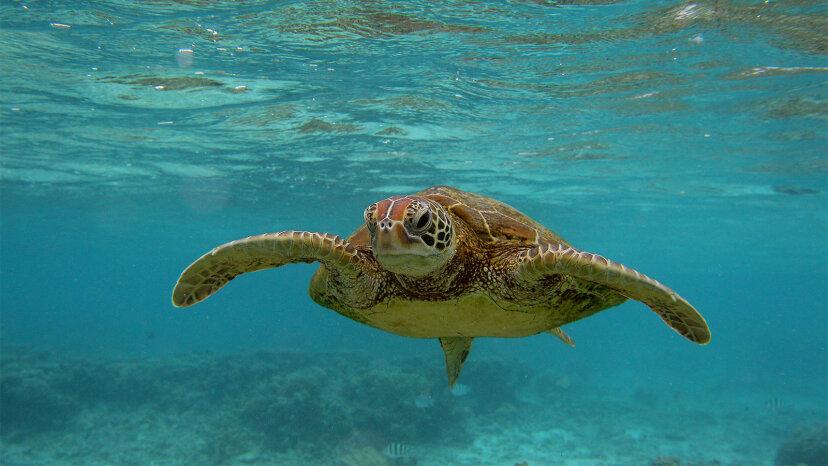 Las tortugas marinas están regresando enormemente gracias a la Ley de especies en peligro de extinción