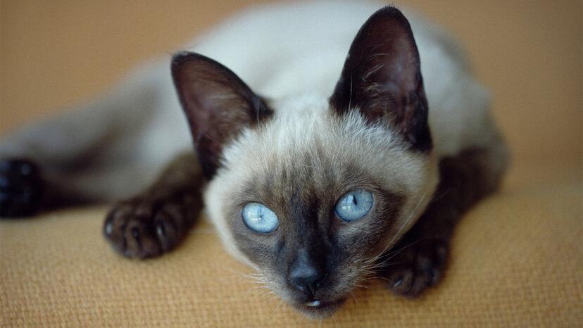 シャム猫に関する12のリーガルファクト