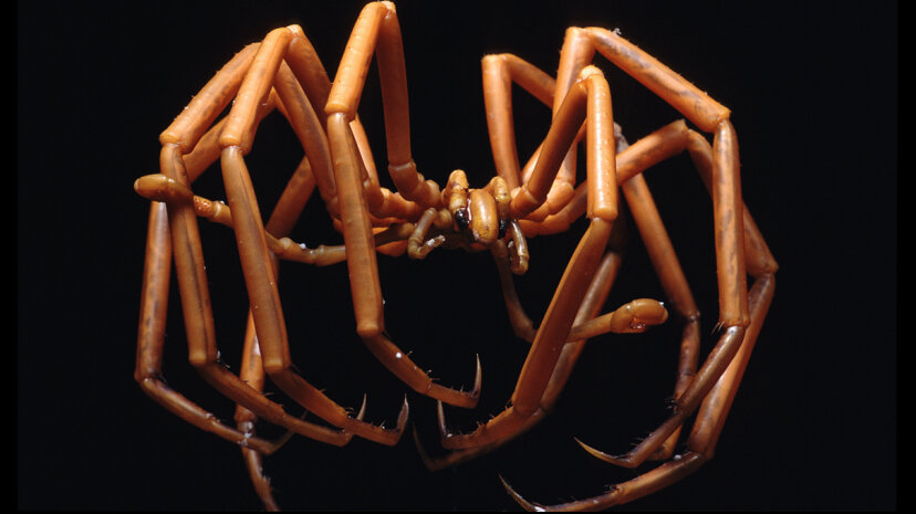 sea spider, ammothea