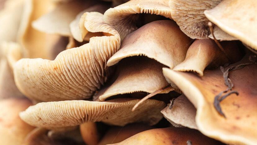 Groovy News: Pilze helfen, depressives Gehirn zurückzusetzen
