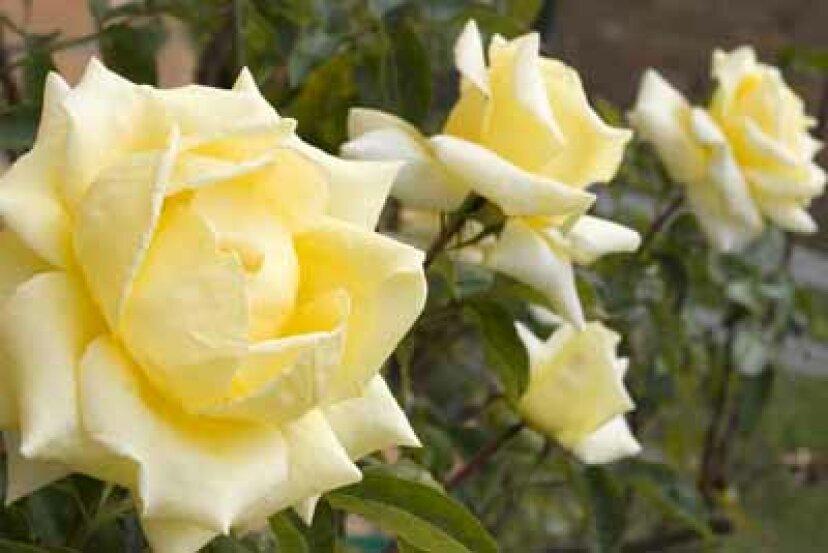 低木バラ:花のプロフィール