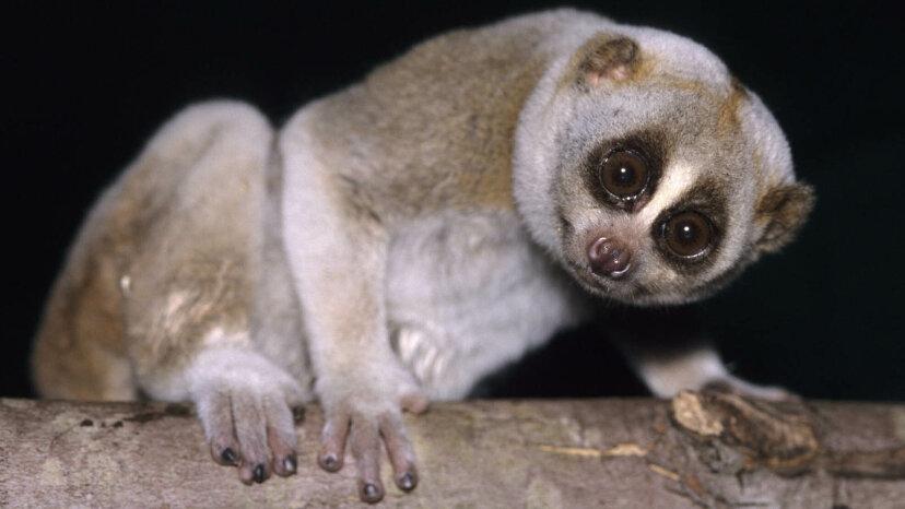 スローロリスは、有毒な咬傷を持ったかわいい霊長類です
