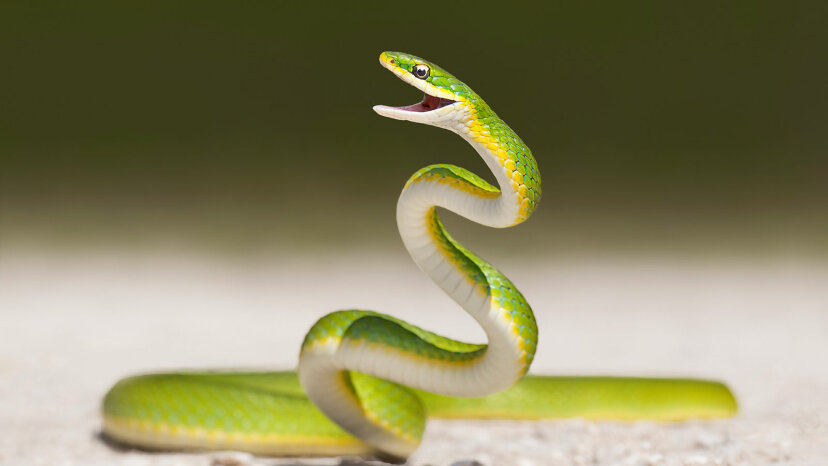 ¿Cómo perdieron las piernas las serpientes?