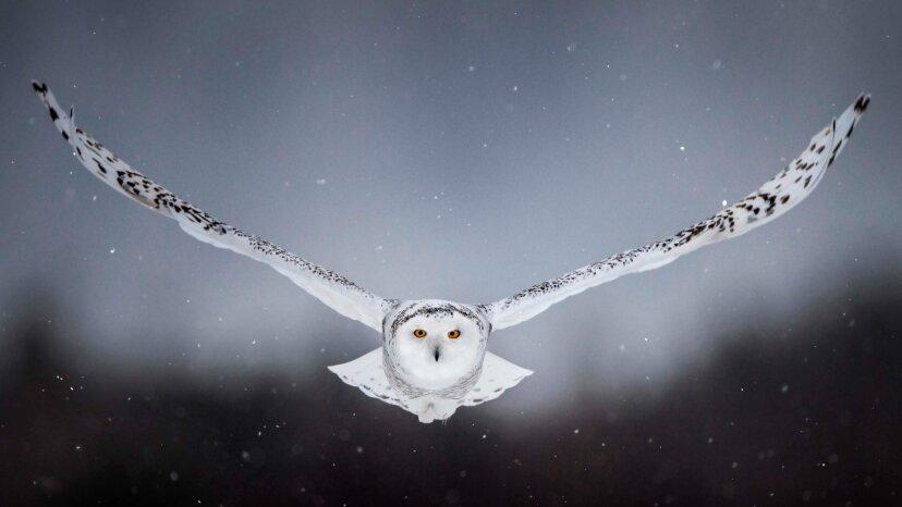 6 Fakten über die majestätische Schnee-Eule