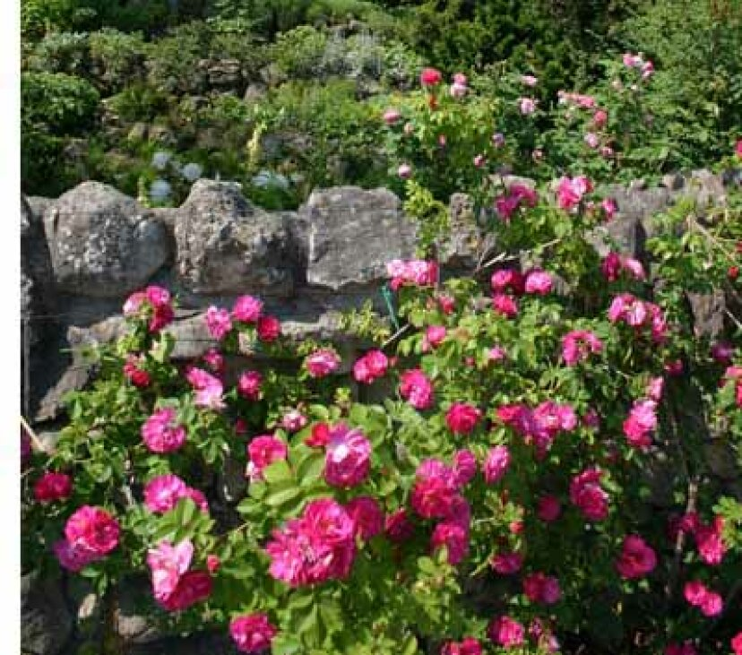 種のバラ:花のプロフィール