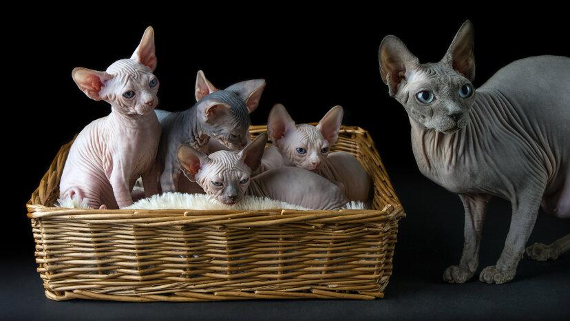 スフィンクス猫は驚くほど甘くてかわいい