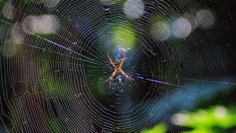 Spinnen können Netze aus Seide stärker als Stahl spinnen