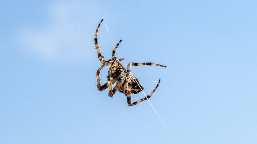 Die einzigartige Seidenphysik verhindert, dass baumelnde Spinnen wild verdrehen