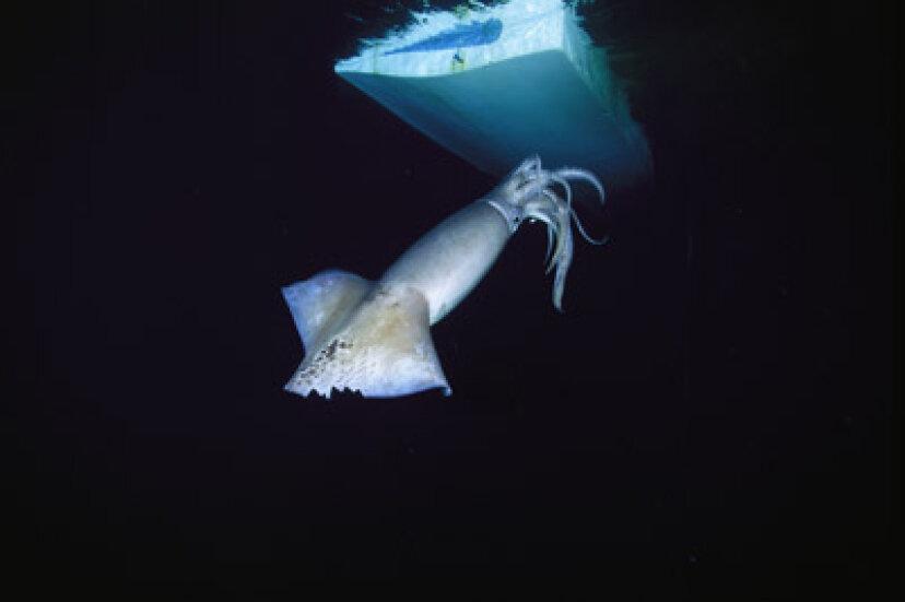 イカは潜水艦を倒すことができますか?