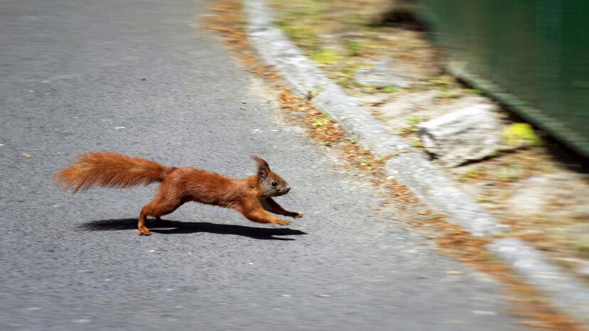 Las ardillas están programadas para 'bailar' cuando se acerca un automóvil