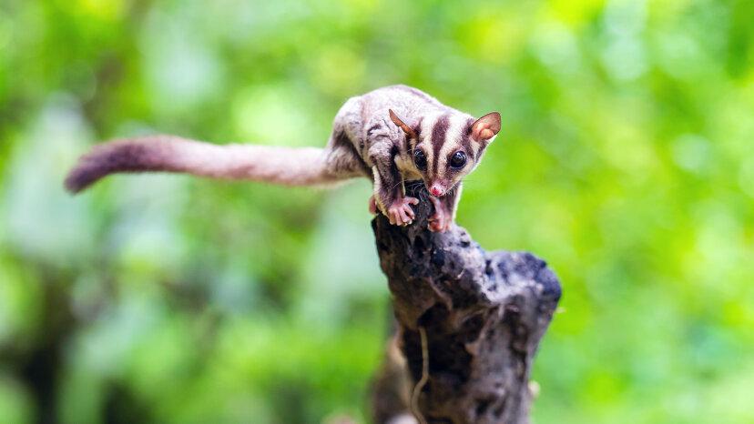 フクロモモンガは自然界で最もかわいい小さなデアデビルです