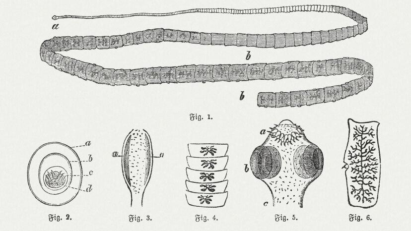tapeworm engraving