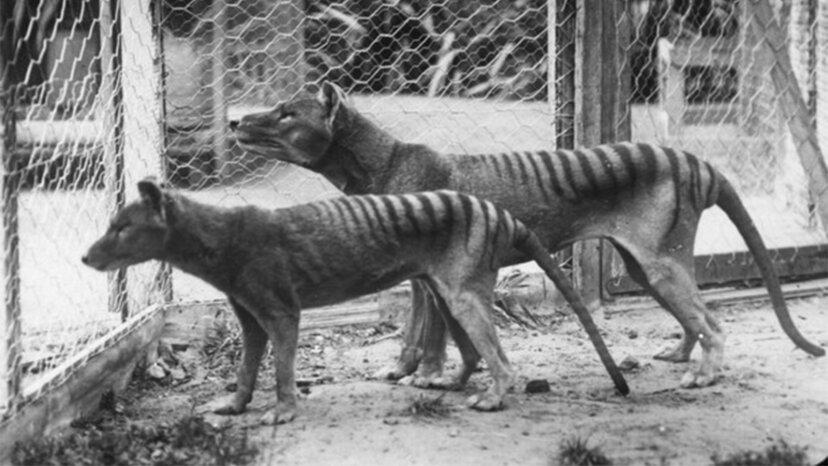 Sobald der Gedanke ausgestorben ist, streift der Tasmanische Tiger möglicherweise immer noch über den Planeten