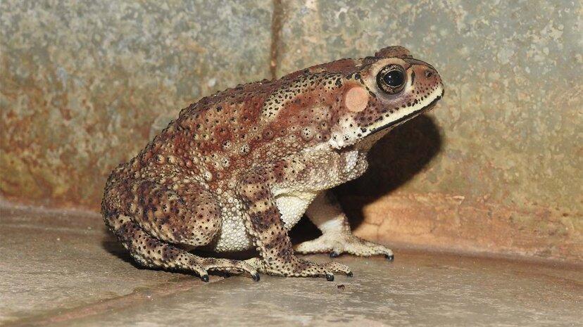 有毒なヒキガエルがマダガスカルの生物多様性を脅かす