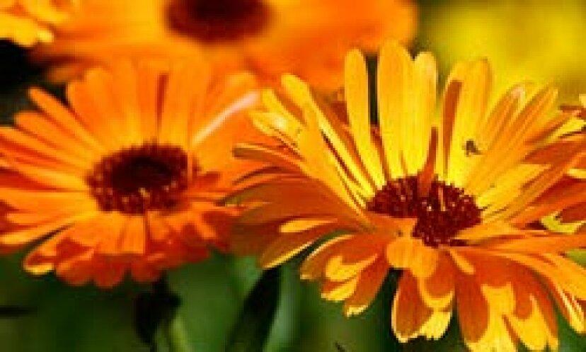 アメリカのマリーゴールド:一年生の花の肖像