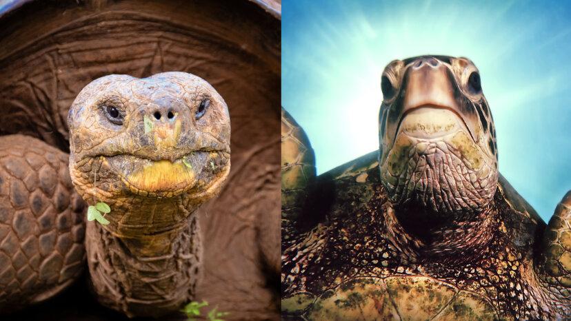 ¿Cuál es la diferencia entre una tortuga y una tortuga?