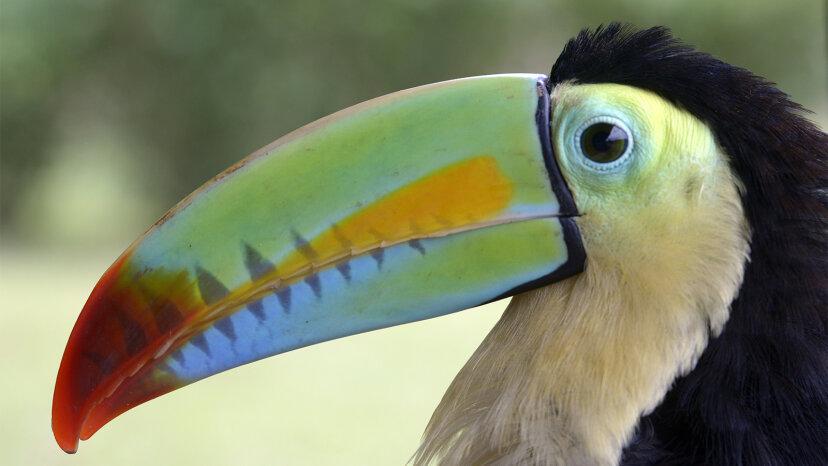 オオハシはフルーツループのマスコットをはるかに超えています