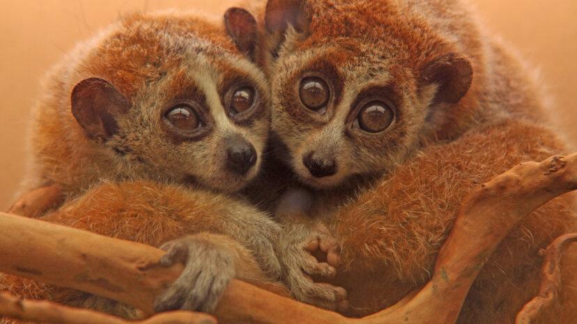 two slow lorises