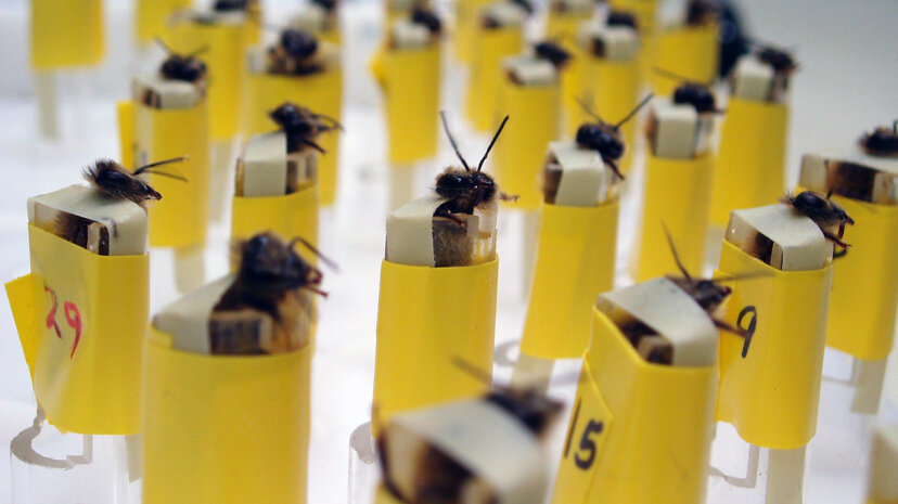 bomb-sniffing bees