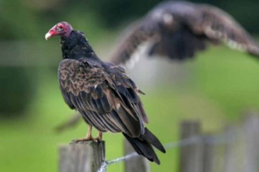 ヒメコンドル:野鳥