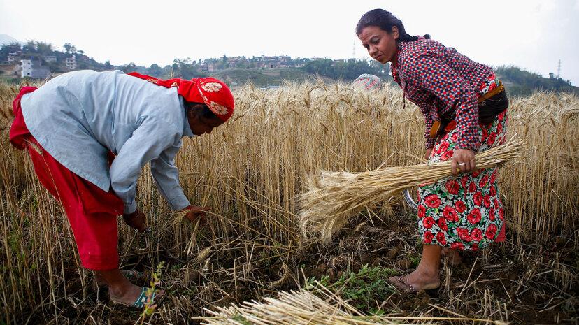 人為的なCO2排出は穀物タンパク質を減少させ、何百万人もの人々の健康を危険にさらす可能性があります