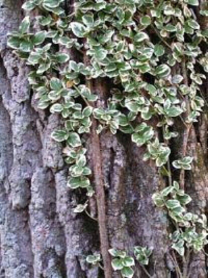 Wintercreeper:日陰植物のプロファイル