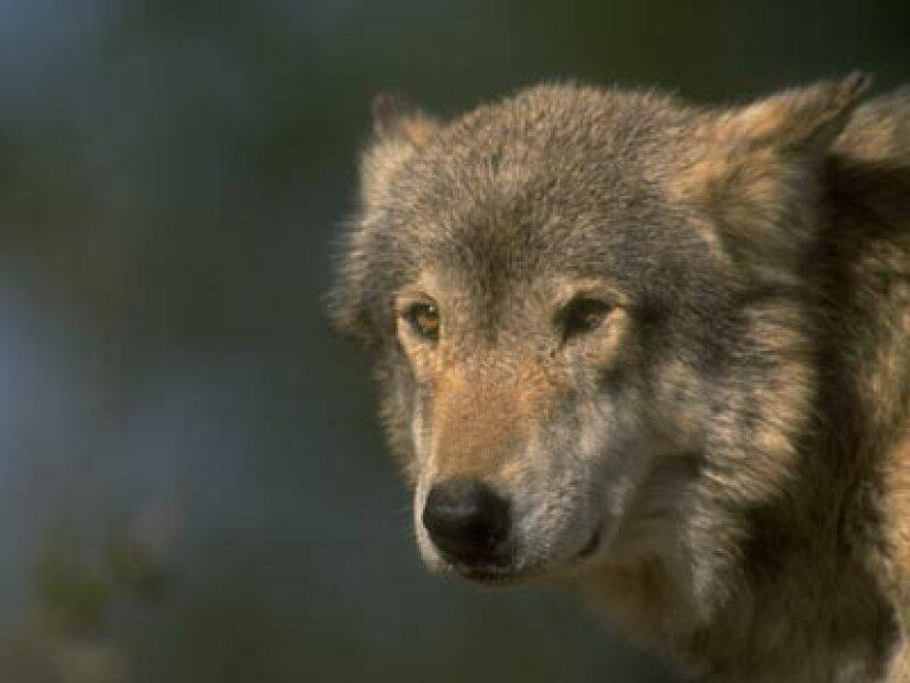 オオカミ狩りは合法ですか?