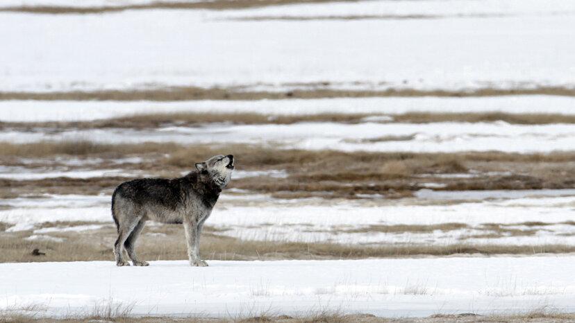 El regreso de los lobos a Yellowstone fue una bendición para los arroyos