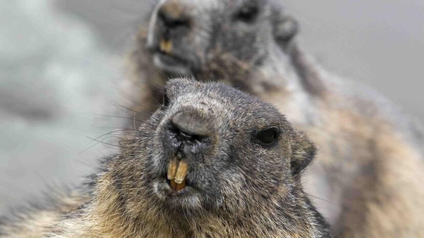 Si una marmota no puede tirar madera, ¿qué puede tirar?