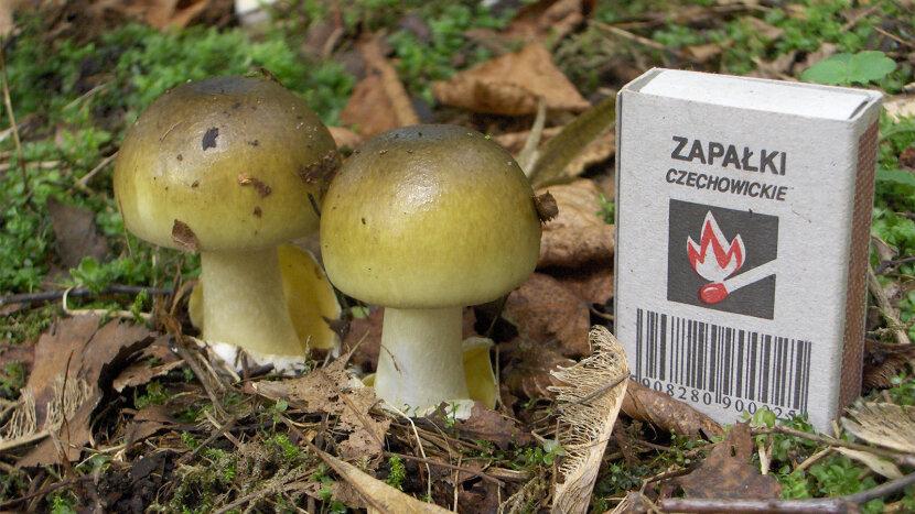 death cap, poisonous mushroom