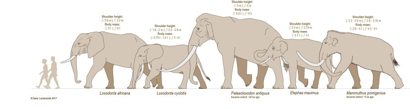 elephant species comparison