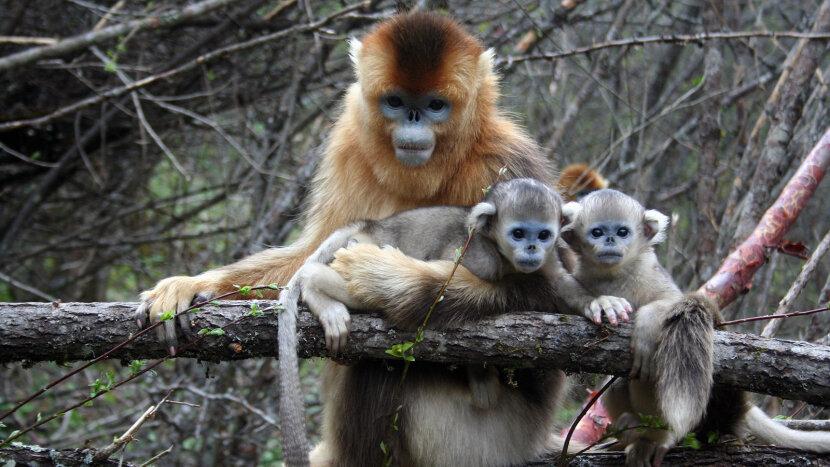 golden snub-nose monkey