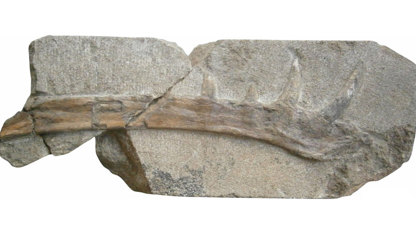 jawbone of Klobiodon