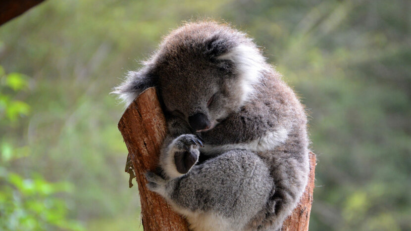 koala sleeping in tree branch