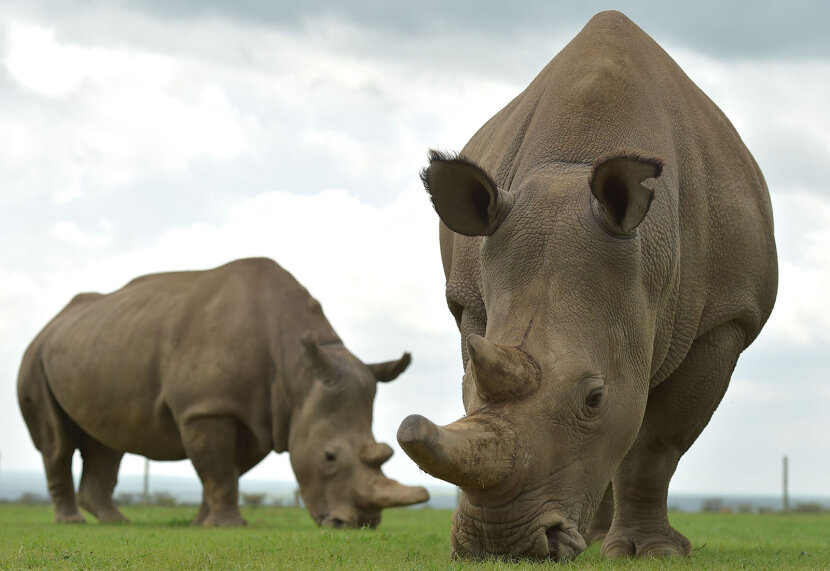 Najin and Fatu, the two remaining female northern white rhinos
