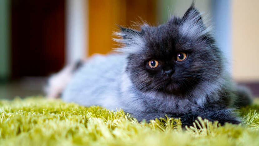 8 Facts About Persian Cats Kings Of The Lap Nappers Howstuffworks
