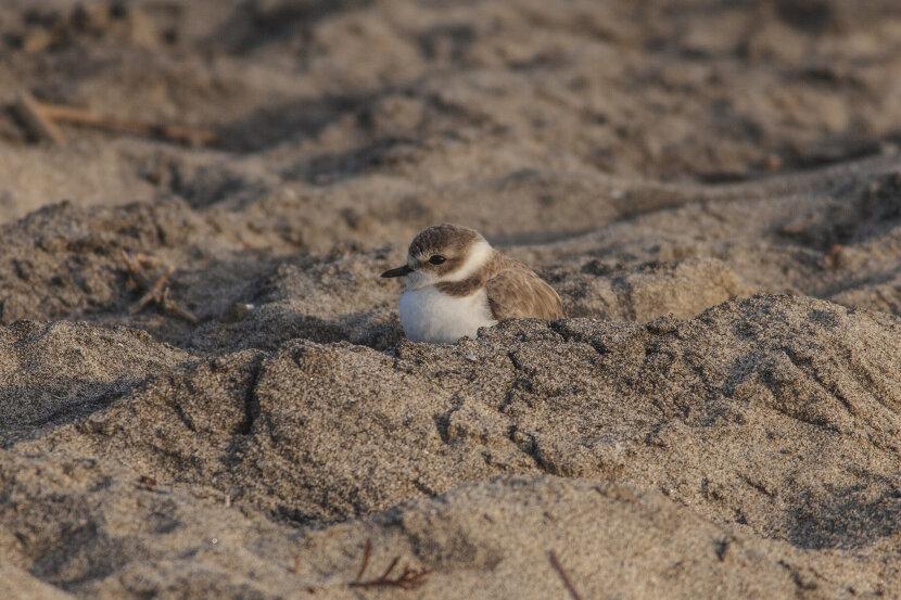 plover, bird, in nest