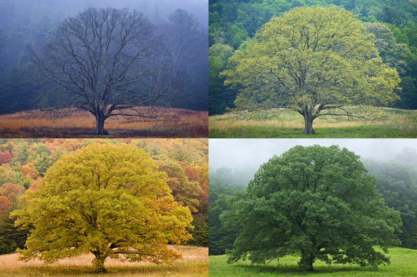four seasons, spring, summer, winter, fall, depicted with single tree