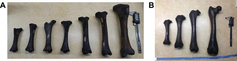 Juvenile limb bones of [i]Smilodon fatalis[/i]
