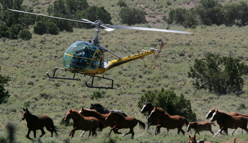 helicopter above herd of wild horses