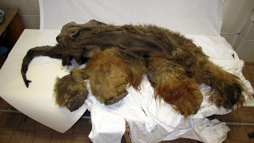 woolly mammoth Yuka