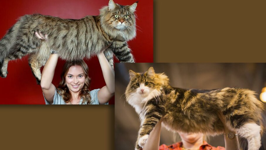 Maine Coon cat vs. Norwegian Forest cat