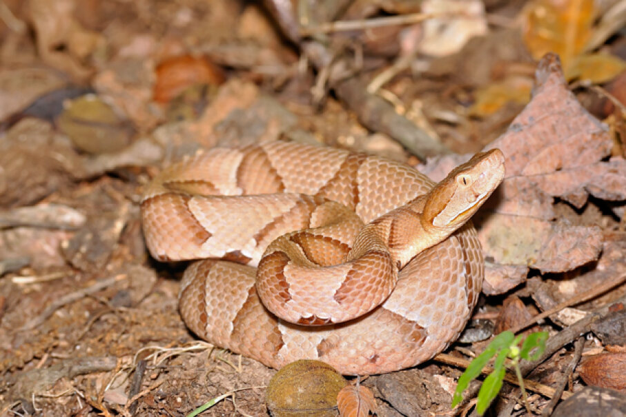In 2012, a study at the University of Tulsa identified virgin female copperhead and cottonmouth snakes giving birth -- despite the presence of healthy males nearby. Hemera/Thinkstock